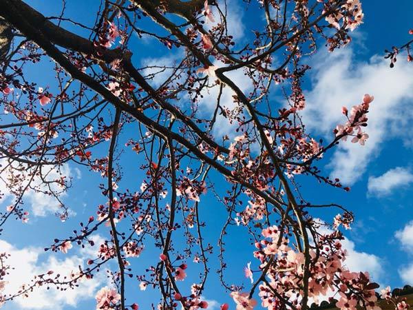 Das Wetter während der Mandelblüte auf Mallorca